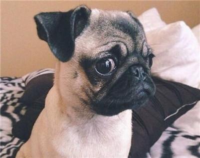 如何帮巴哥犬修剪毛发?巴哥犬剃毛的十二大步骤介绍